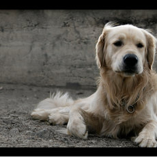 Fotografie - retriever