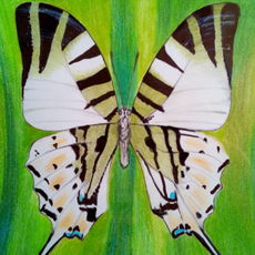 Grafika - graphium anthipathes